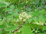 Arbre à miel, Arbre aux abeilles, Arbre aux cent mille fleurs, Tetradium danielii