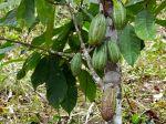Le cacaotier, arbre à chocolat