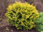 Thuja occidentalis 'Aurea Nana', une variété naine du thuya d'occident