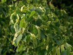 Tilleul à petites feuilles, Tilleul à feuilles cordées, Tilia cordata