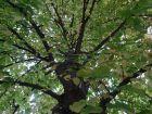 Tilleul à grandes feuilles, Tilleul de Hollande,  Tilia platyphyllos