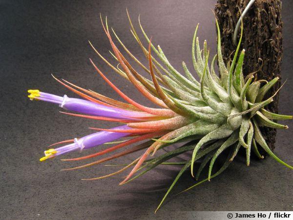 Tillandsie Violette Fille De L Air Tillandsia Ionantha Cultiver
