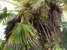 Comment polliniser un trachycarpus pour obtenir des graines?