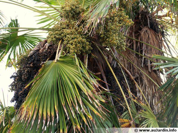 Graines du Trachycarpus