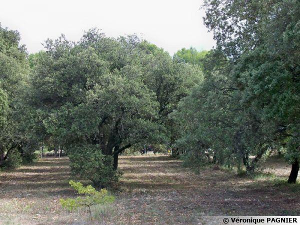 Une truffière et ses arbres truffiers dans le Vaucluse
