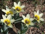 Tulipe de Foster Concerto, Tulipa fosteriana 'Concerto'