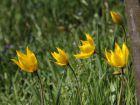 Tulipe des bois, Tulipe sauvage, Tulipa sylvestris