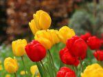 Comment choisir les tulipes?