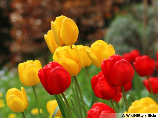 Un jardin de tulipes pour bien démarrer le printemps