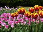Tulipes de jardins ou botaniques ?