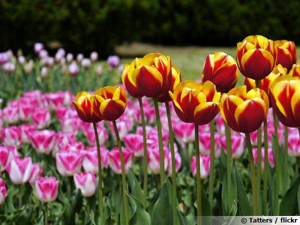 Un parterre de tulipes de jardin