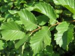 Orme champêtre, Ulmus minor