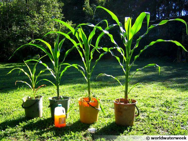 Expérience montrant les effets positifs de l'urine sur la pousse du maïs