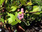 Myrtille de Floride, Myrtille œil de lapin, Vaccinium ashei