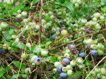 Myrtille d'Amérique, Myrtillier à corymbes, Corymbelle, Vaccinium corymbosum