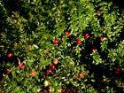Canneberge à gros fruits, Airelle à gros fruits, Cranberry, Vaccinium macrocarpon