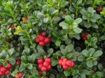 Airelle rouge, Canneberge ponctuée, Myrtille rouge, Vaccinium vitis-idaea