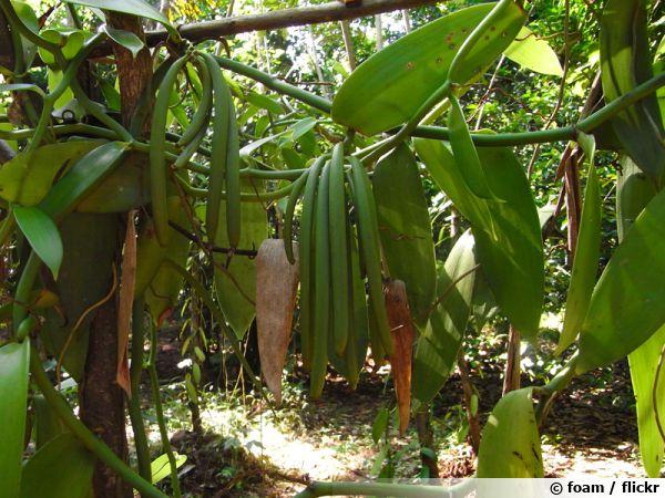 Gousses de vanille dans une exploitation à Zanzibar