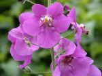 Molène de Phénicie, Molène violette, Verbascum phoeniceum
