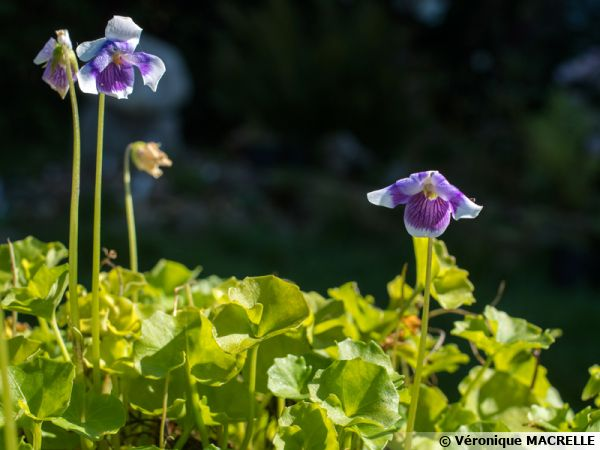 Violette de Tasmanie, Viola banksii