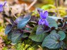 Violette du Labrador, Viola labradorica, Viola riviniana purpurea