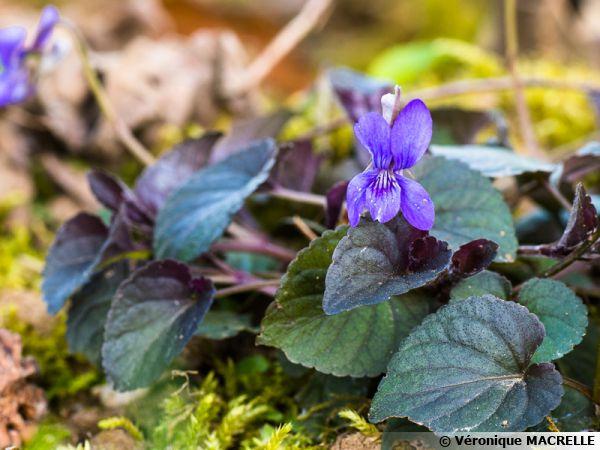 Viola labradorica, Viola riviniana purpurea, Violette du Labrador