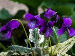 Violette de Mandchourie, Viola mandshurica
