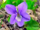 Violette odorante, Violette de mars, Violette des baies, Viola odorata