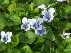 Violette parente, Violette de pentecôte, Violette papilionacée, Viola sororia