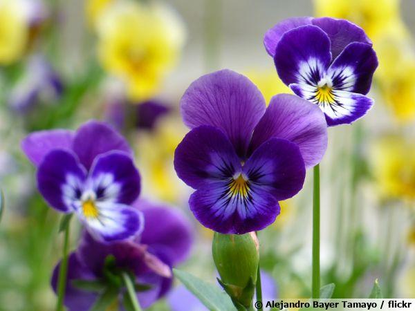 Pensée sauvage, Pensée tricolore, Viola tricolor