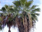 Palmier du Mexique, Washingtonia robusta