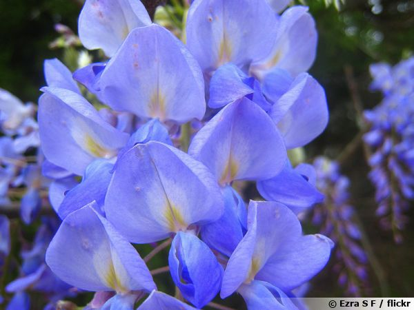 Glycine américaine, Glycine du Texas, Wisteria frutescens