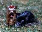Le Yorkshire Terrier, idéal en appartement