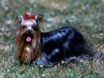 Le Yorkshire Terrier, idéal en appartement