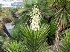Yucca à feuilles d'Aloès, Yucca aloifolia