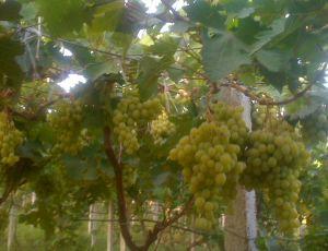 Ma vigne raisin de table SABEN. par DJELLAL OURIDA