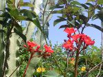 Jatropha: notes rouges dans mon jardin, en Guadeloupe