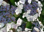 Un hortensia expose au nord ...sans entretien.. Ni gourmand en eau