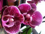 """Mon phalaenopsis """"Panthère"""""""