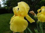 Iris en robe de soleil...