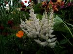 Astilbe, Plumes blanches....