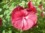Un hibiscus des marais rouge