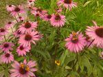 Les papillons adorent cette variété de fleur.