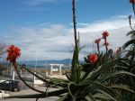 Aloe arborescens (Aloe candélabre.Corne de bélier.Corne de cerf). Jardin public de Kotama (Jijel. Algérie).