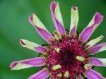 Zinnia...  fleur étonnante  !