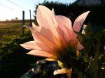 Dahlia, au soleil couchant..