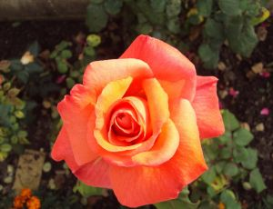Une rose pour ma maman par JULE VERNE