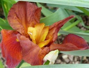 Que les fleurs d'iris sont belles!!! par ZINP