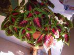J'ai un coléus depuis 1 an et demi, c'est une plante très belle de plusieurs couleurs