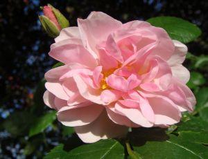 Première rose de l'année par BLAN